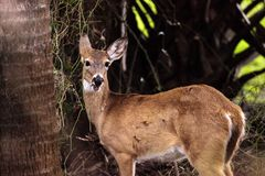 White-tailed deer Odocoileus virginianus forages for food. In the wetland and marsh at the Myakka River State Park in Sarasota, Florida, USA Stock Photos