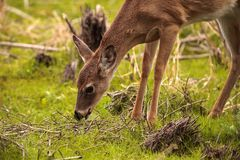 White-tailed deer Odocoileus virginianus forages for food. In the wetland and marsh at the Myakka River State Park in Sarasota, Florida, USA Stock Photography
