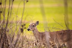 White-tailed deer Odocoileus virginianus forages for food. In the wetland and marsh at the Myakka River State Park in Sarasota, Florida, USA Royalty Free Stock Images