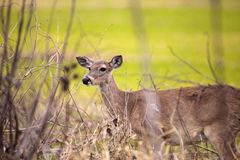 White-tailed deer Odocoileus virginianus forages for food. In the wetland and marsh at the Myakka River State Park in Sarasota, Florida, USA Stock Photo