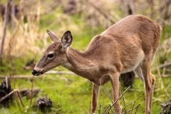 White-tailed deer Odocoileus virginianus forages for food. In the wetland and marsh at the Myakka River State Park in Sarasota, Florida, USA Royalty Free Stock Image