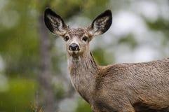 White-tailed deer (Odocoileus virginianus) Stock Photos