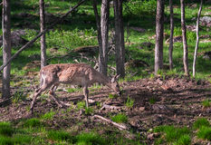 White-Tailed Deer (Odocoileus virginianus) Grazes in Woody Area Stock Photography