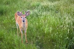 White-Tailed Deer Odocoileus Virginianus In Green Grass Royalty Free Stock Photography