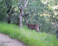White Tailed Deer Stock Photography