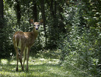 White-Tailed Deer (Odocoileus virginianus) Royalty Free Stock Image