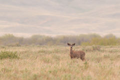 White-tailed deer (Odocoileus virginianus) Royalty Free Stock Photography