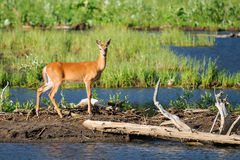 White-tailed deer (Odocoileus virginianus) Stock Images