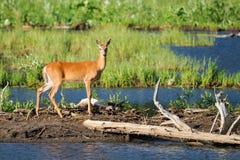 White-tailed deer (Odocoileus virginianus) Stock Images