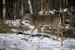 White-tailed deer, Odocoileus virginianus Royalty Free Stock Photos