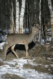 White-tailed deer, Odocoileus virginianus Stock Photo