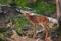 White-Tailed Deer (Odocoileus virginianus) Stands Royalty Free Stock Images