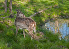 White-Tailed Deer (Odocoileus virginianus) Stands Near Pond Stock Images