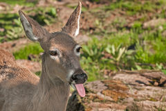 White-Tailed Deer (Odocoileus virginianus) Sticks out Tongue Stock Photo