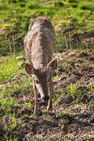 White-Tailed Deer (Odocoileus virginianus) Walks Towards Viewer Stock Photo