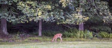 White-tailed deer,Odocoileus virginianus Stock Images