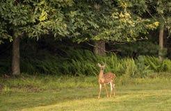 White-tailed deer,Odocoileus virginianus Royalty Free Stock Images