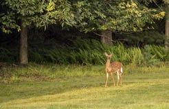 White-tailed deer,Odocoileus virginianus Stock Image