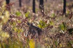 White-tailed deer Odocoileus virginianus Royalty Free Stock Photography