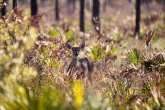 White-tailed deer Odocoileus virginianus Stock Photography