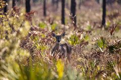 White-tailed deer Odocoileus virginianus. Peers out from the brush at the Fred C. Babcock and Cecil M. Webb Wildlife Management Area in Punta Gorda, Florida Stock Images