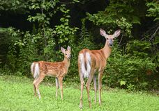 Free White-tailed Deer Odocoileus Virginianus With Fawn In Early Spring Stock Photo - 182035840