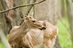 White-tailed Deer, Odocoilleus virginianus Stock Photo