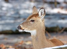 White-tailed Deer Portrait. Young White-tailed deer spotted and captured in one snowy cold winter day in indianapolis,Indiana stock photography