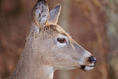White Tailed Deer Profile. A profile of a doe (female deer) with large brown eyes and long eyelashes. This is a White Tailed deer there is copy space Royalty Free Stock Images