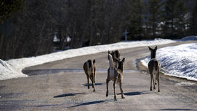 White-Tailed Deer on road in Winter. Deer in the town of Gore Bay on Manitoulin Island. The white-tailed deer population on the island outnumbers its residents Royalty Free Stock Photo