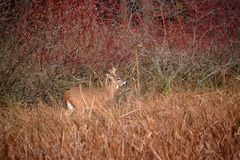 A White tailed deer roaming inthe marsh in late fall royalty free stock photo