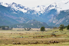 White-tailed deer in Rocky Mountains stock photos