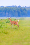 White-tailed deer runs into thick brush at the Bald Knob Wildlife Refuge in Bald Knob. Arkansas Royalty Free Stock Photo
