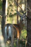 White-tailed deer rutting season. Red deer during rutting season in autumn Royalty Free Stock Images