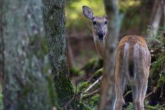 White-tailed deer rutting season. Red deer during rutting season in autumn Stock Image