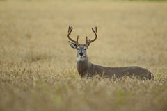 White-tailed deer rutting season. Red deer during rutting season in autumn Royalty Free Stock Photography