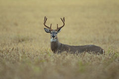 White-tailed deer rutting season Stock Photography