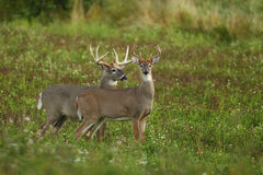White-tailed deer rutting season Royalty Free Stock Images