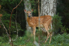 White-tailed deer rutting season. Red deer during rutting season in autumn Stock Photography
