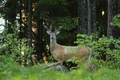 White-tailed deer rutting season. Red deer during rutting season in autumn Stock Photo