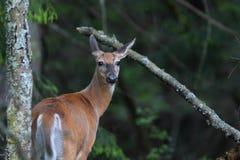 White-tailed deer rutting season. Red deer during rutting season in autumn Royalty Free Stock Image