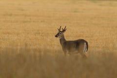 White-tailed deer rutting season. Red deer during rutting season in autumn Royalty Free Stock Photo