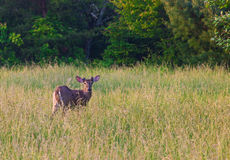 White tailed deer with small budding antlers Stock Photos
