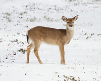 White-Tailed Deer in the Snow. White-Tailed Deer in a snowy meadow stock images