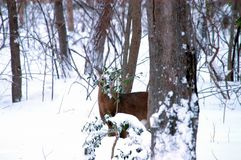 White-tailed deer in snow wood. Single White-tailed deer in snowy wood in Winter Royalty Free Stock Photography