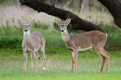White-tailed Deer Spike Buck Stock Photos