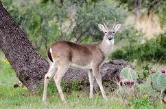 White-tailed Deer Spike Buck Royalty Free Stock Photography