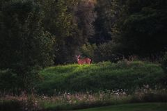 White Tailed Deer in Summer royalty free stock image