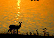White-tailed deer at sunset Stock Images