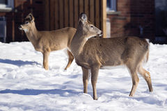 White-Tailed Deer in town during Winter. Deer in the town of Gore Bay on Manitoulin Island. The white-tailed deer population on the island outnumbers its Royalty Free Stock Image